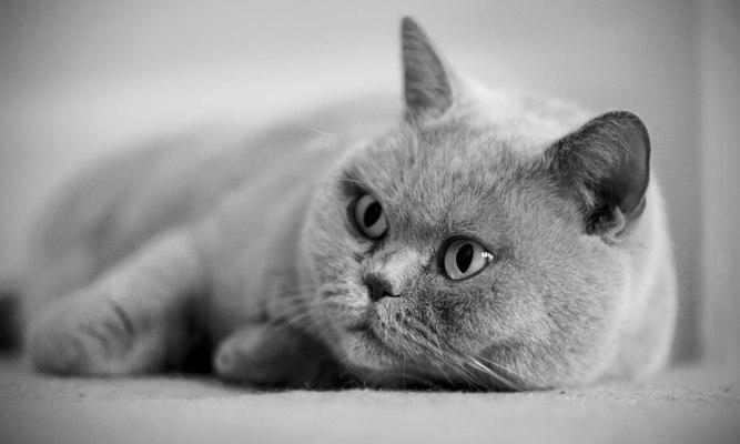 Grey Cat Lying Down