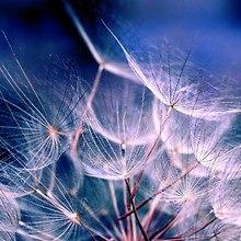 Dandelions Together