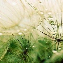 Dandelion Rain Drops