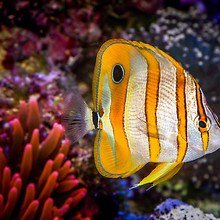 Tropical Copperband Butterflyfish