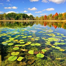 Lake Water Lillies
