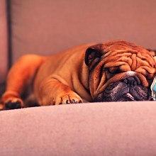 Bulldog Sleeping