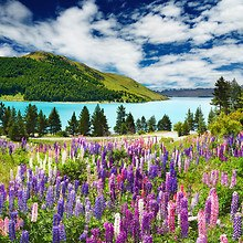 Lavender By Lake Tekapo