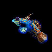 Beautiful Mandarinfish