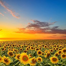 Amazing Sunflower Sunset