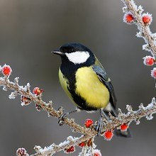 Great Tit Bird On Frosty Berries