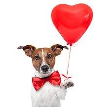 Jack Russell Holding Heart Balloon