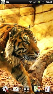 free live tiger wallpaper