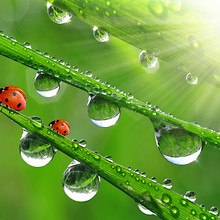 Ladybugs On Wet Grass