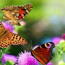 Summer Butterflies