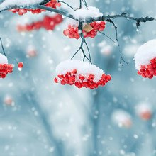 Snow Covered Red Berries