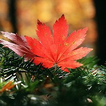 Macro Maple Leaf