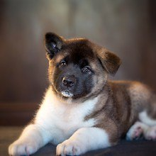Cute Japanese Akita Inu Puppy