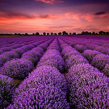 Gorgeous Lavender Fields