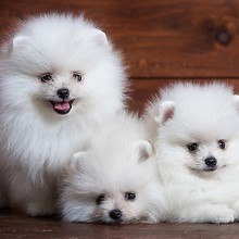 Cute White Pomeranian Puppies
