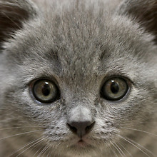 Cute Grey Kitten