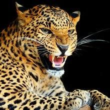Leopard Growling