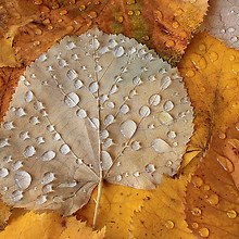 Autumn Leaf Water Droplets