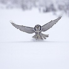 Falcon In The Snow