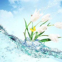 White Tulips In Water