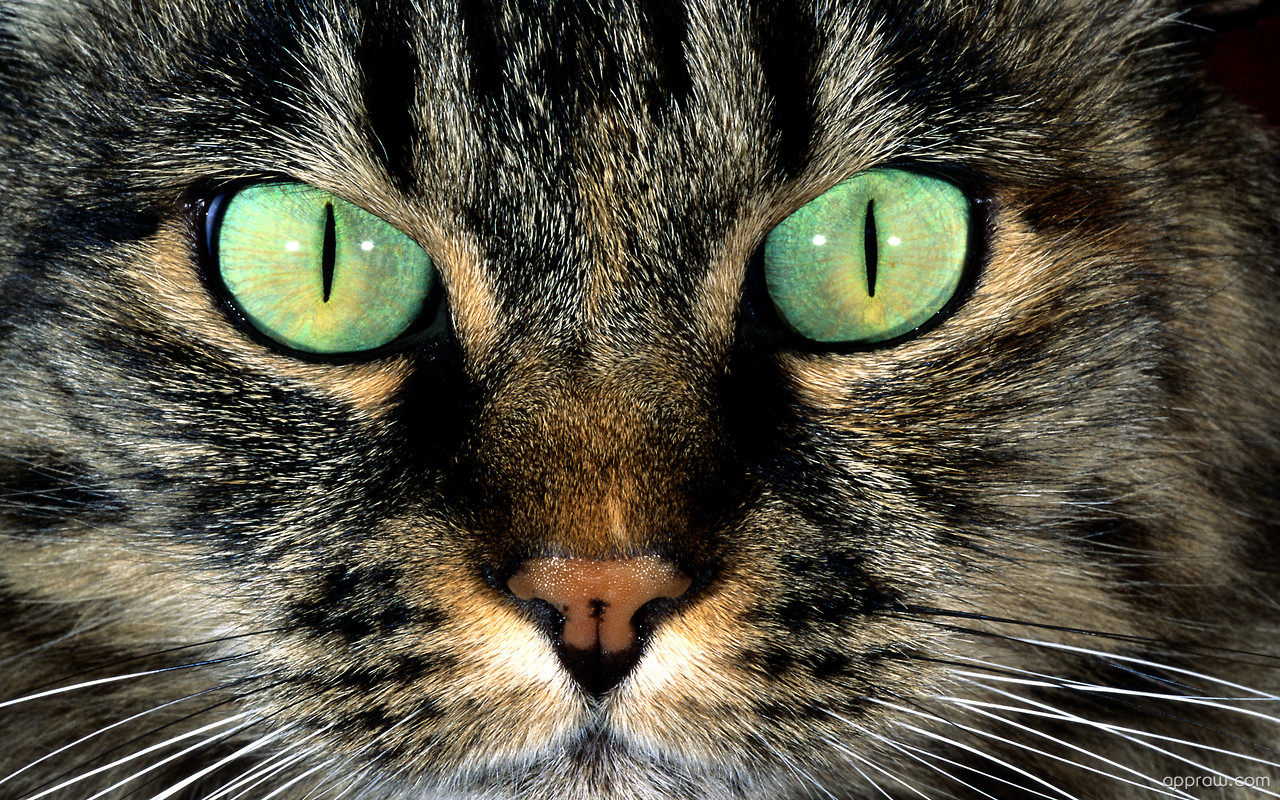 Cat Eyes Wallpaper Download Cat Hd Wallpaper Appraw