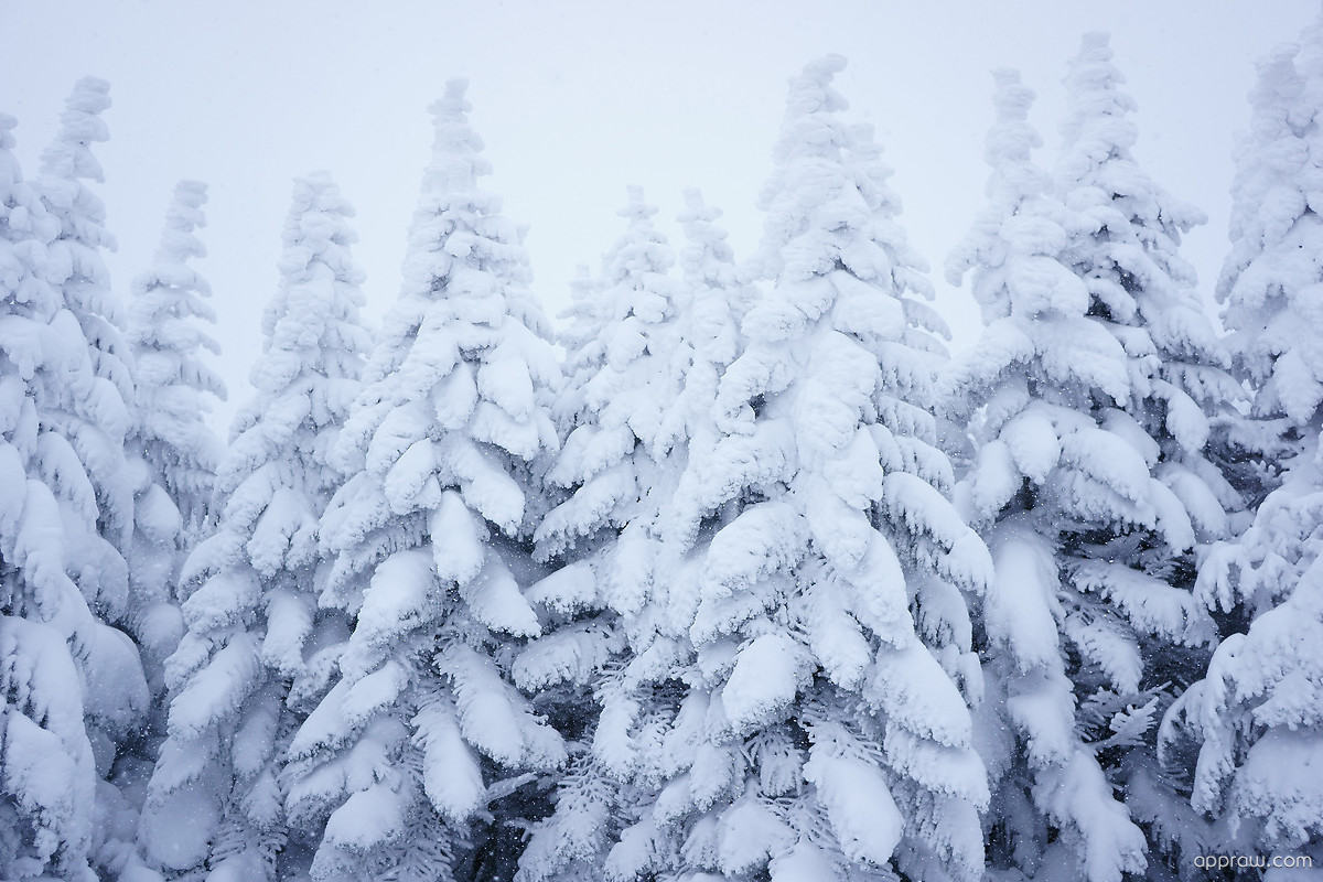 Snow pine trees wallpaper download christmas hd - Images of pine trees in snow ...