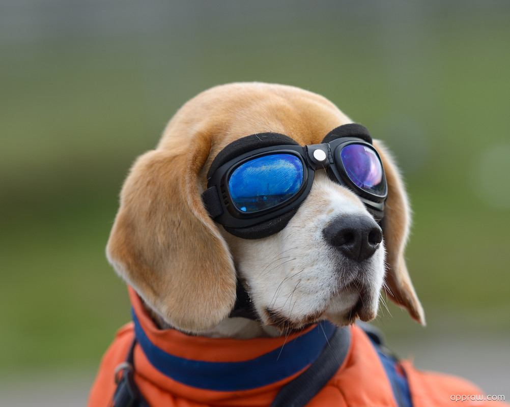 Funny Dog Wearing Goggles Wallpaper download - Dog HD ...