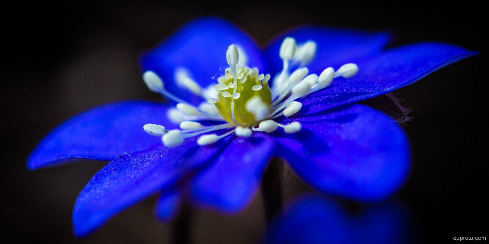 macro blue flower wallpaper - photo #3