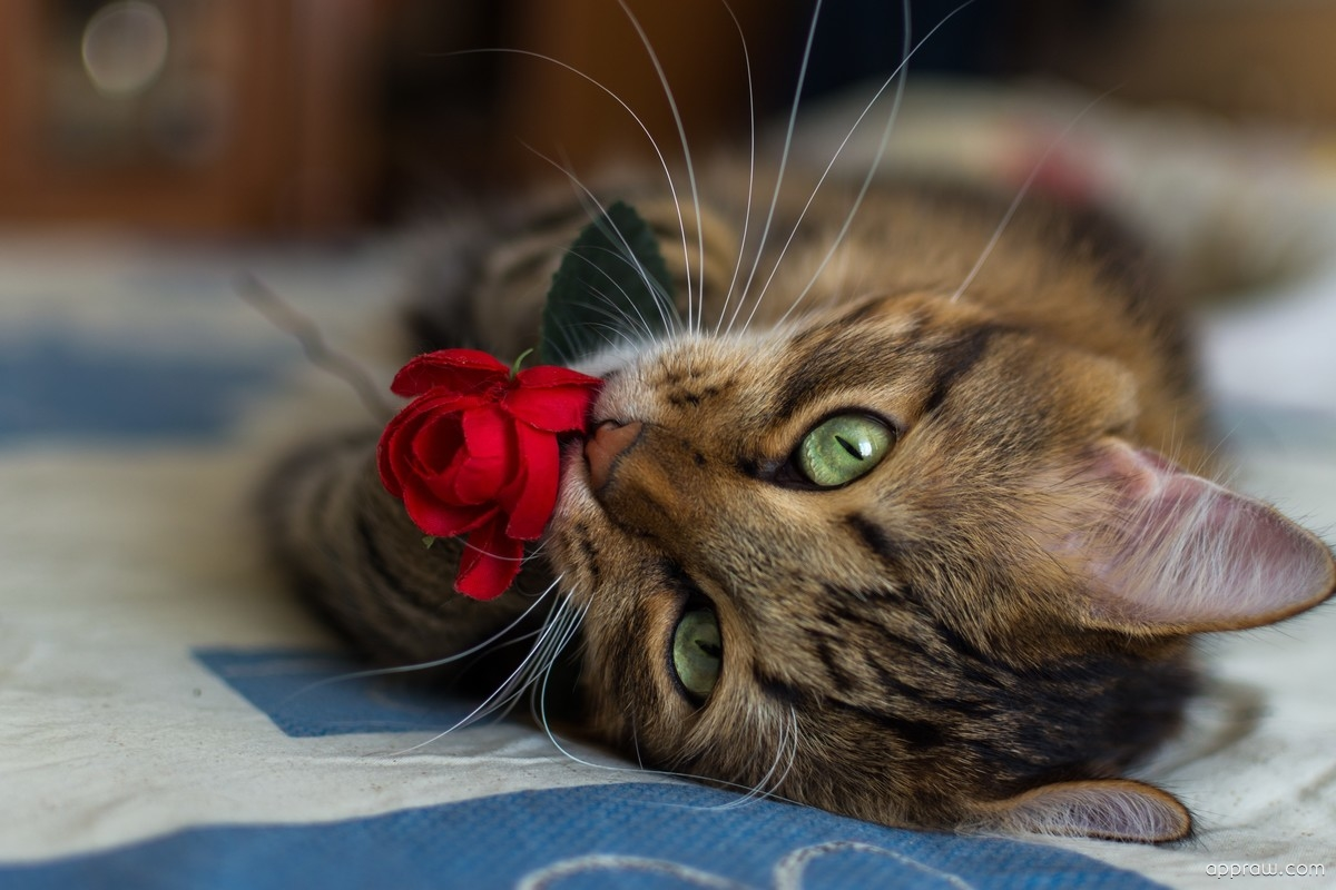 rose cat wallpaper download   cat hd wallpaper   appraw