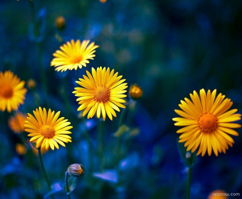 Yellow Flowers HD Wallpaper Download