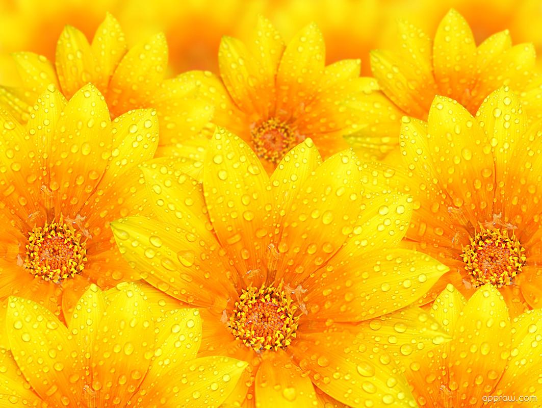 Water Droplets On Yellow Flowers Wallpaper Download Flower