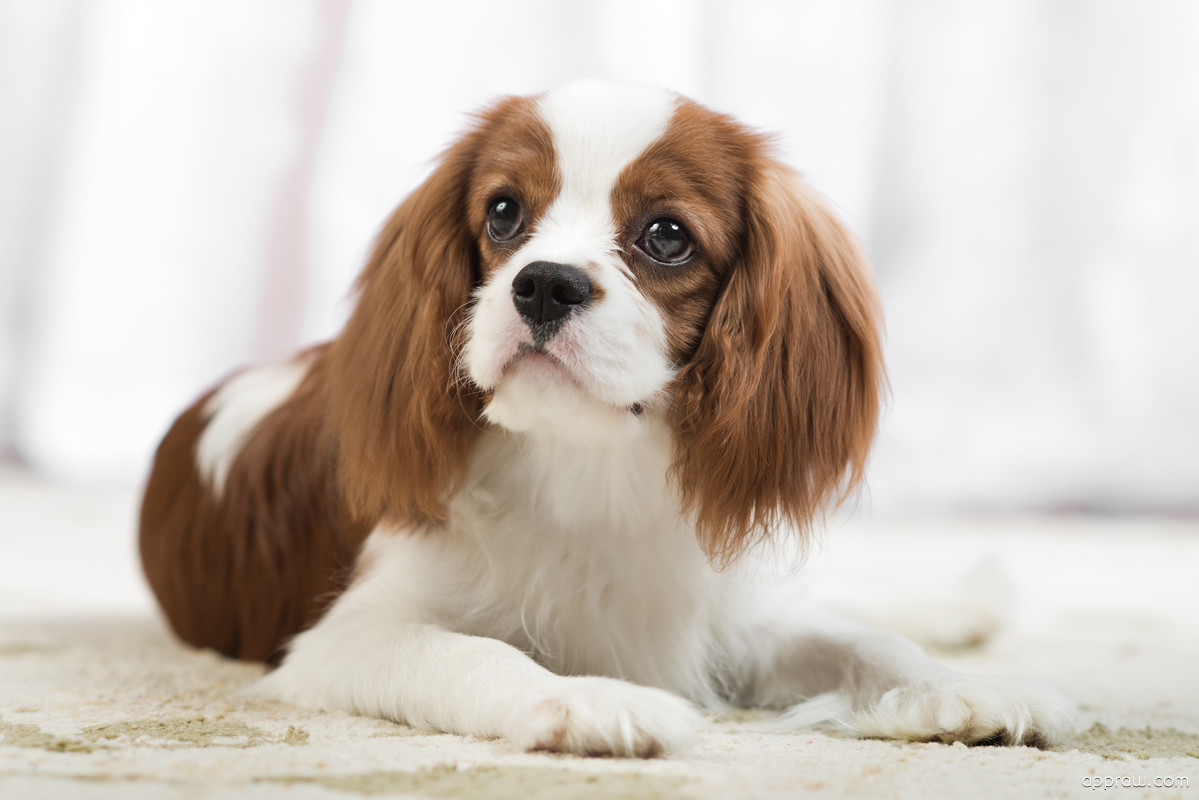 Cavalier King Charles Spaniel Dog Wallpaper Download Cavalier