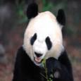 Panda Wallpapers HD Icon