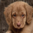 Puppy wallpapers HD Icon