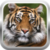 African Tiger Shooter 3D Icon