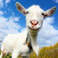Crazy Goat FREE Icon