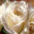 Roses Wallpapers HD Icon