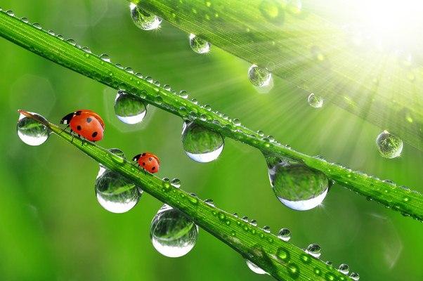 Ladybugs On Wet Grass