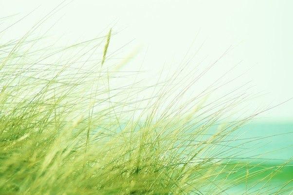 Ear Of Corn Grass