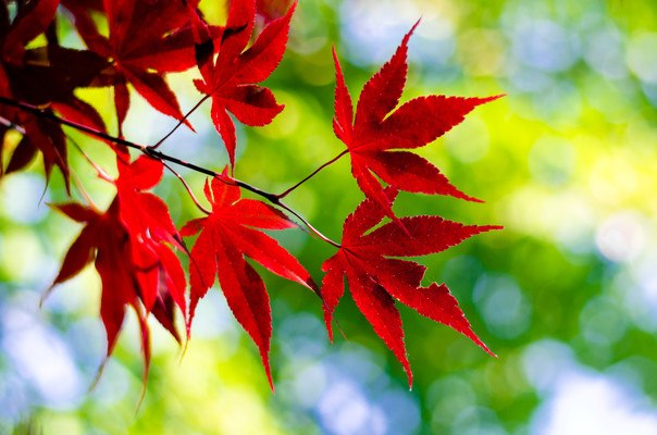 Japanese Maple Leaf