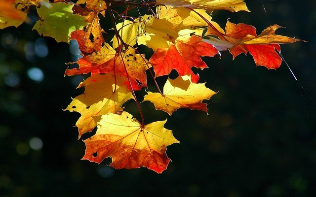 Canadian Autumn Leaves