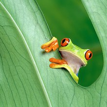 Leaf Frog