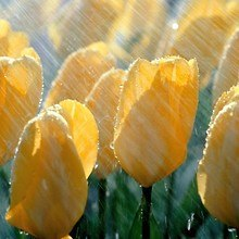 Tulips Rain