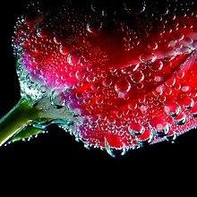 Water Tulip