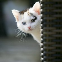 Peeking  Cat
