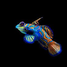 Beautiful Mandarinfish