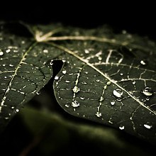Leaf Water Drops
