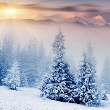 Mountain Pine Trees In Winter