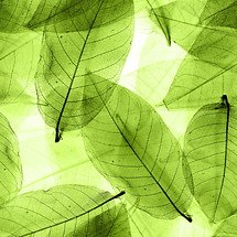 Green Opaque Leaves