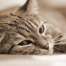 Sepia Cat